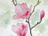 Pink magnolias flower pen ink and watercolor wash